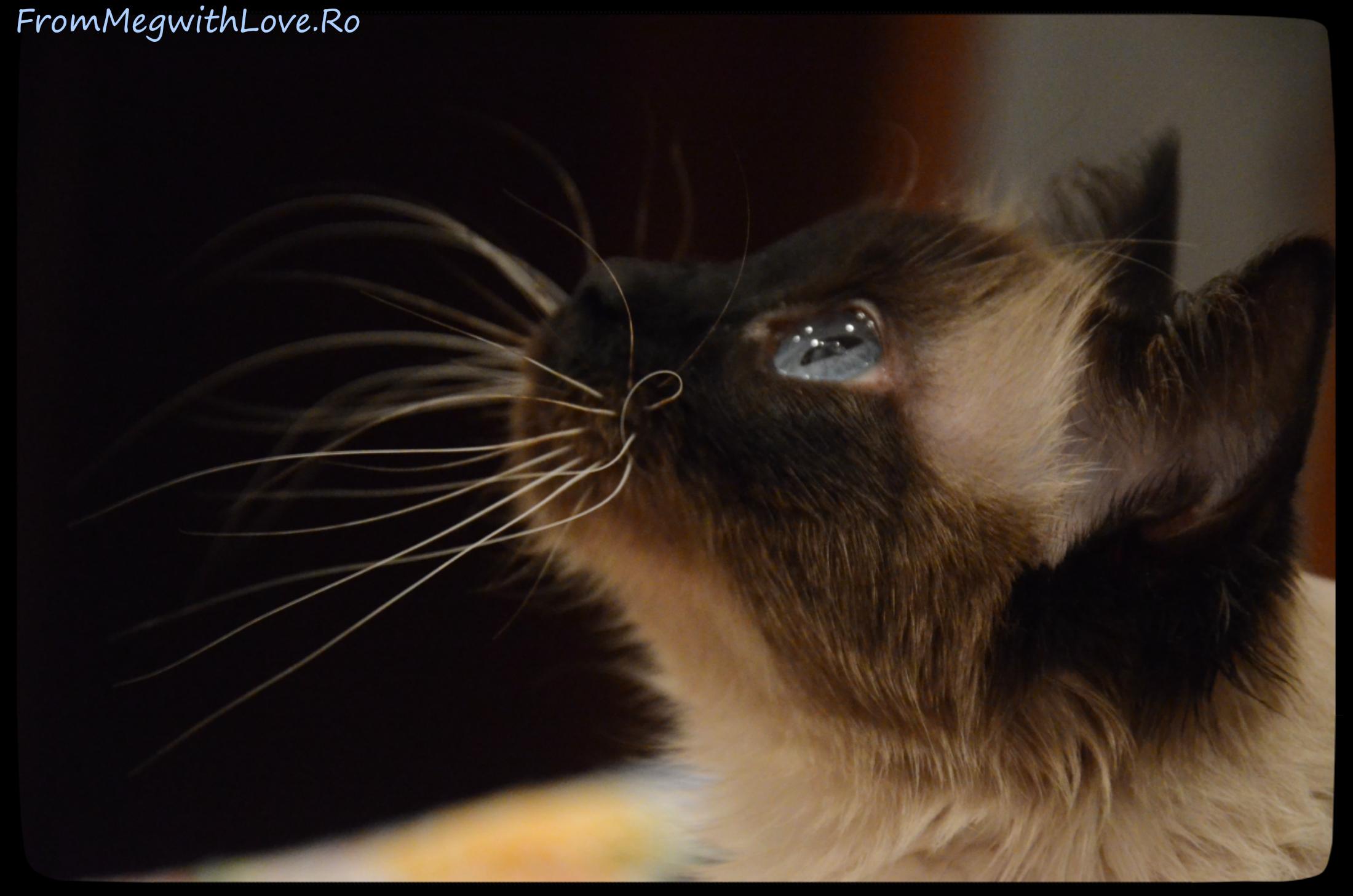 pisica DeeDee Adina